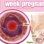 Quá trình phát triển của thai nhi – Tuần 1 (40 tuần thai)