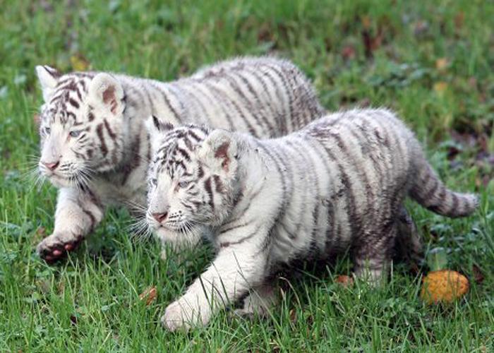 Hai con hổ số phận khác nhau